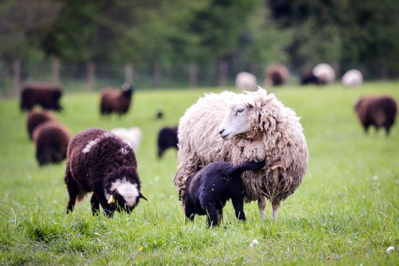 Moutons des Landes - Finistère