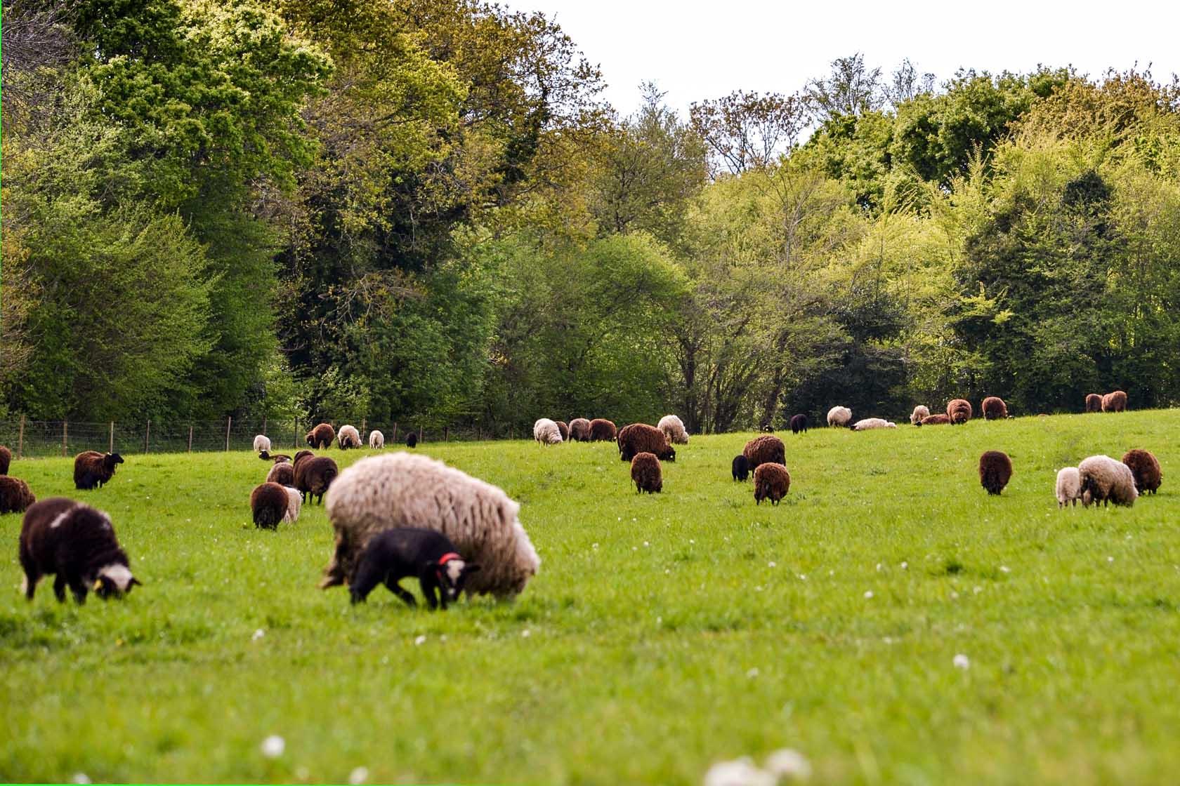 Élevage de moutons des Landes - Plogonnec, Finistère