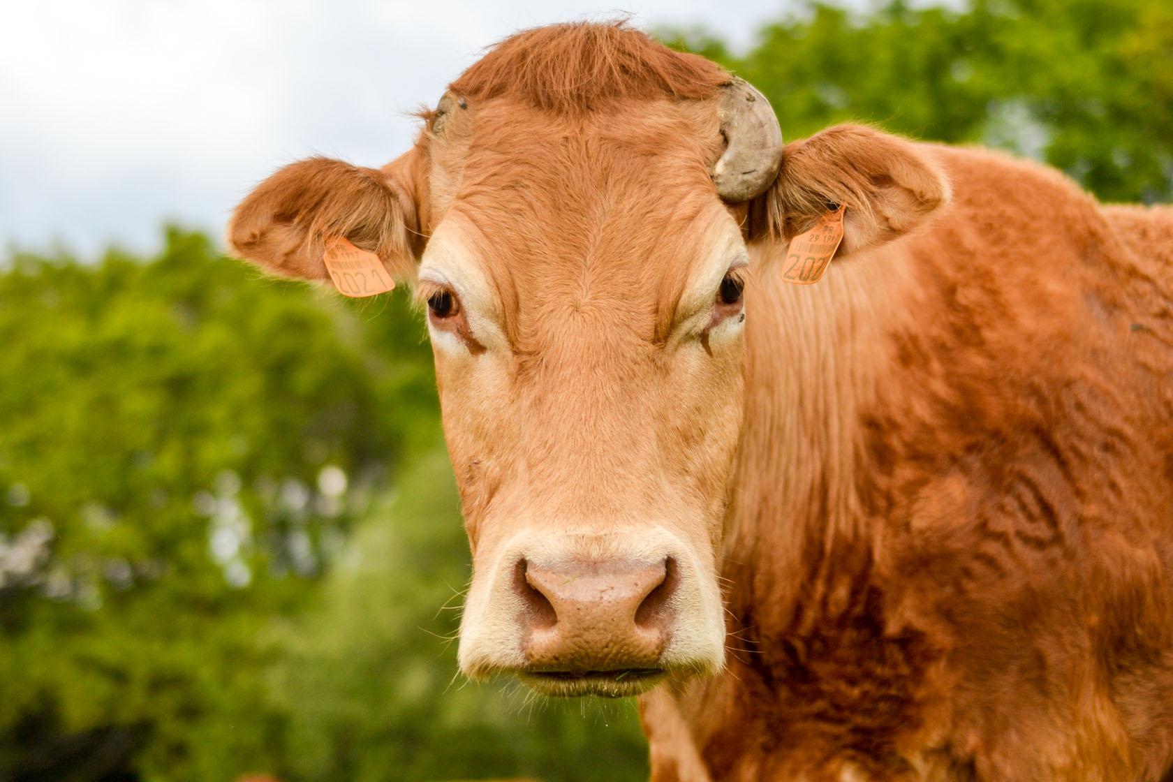 Élevage de vaches Limousines - Plogonnec, Finistère